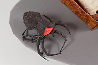 Origami Egyptian mummy and spiders. Black widow spider designed by Manuel Sirgo Alvarez folded by Eric Lan. Orange spider designed and folded by Lumo Sato. Mummy adapted and folded by Rosalind Joyce from a design by Steve and Megumi Biddle. Hand designed by Steve and Megumi Biddle folded by Rosalind Joyce. Sarcophagus adapted and folded by Rosalind Joyce.