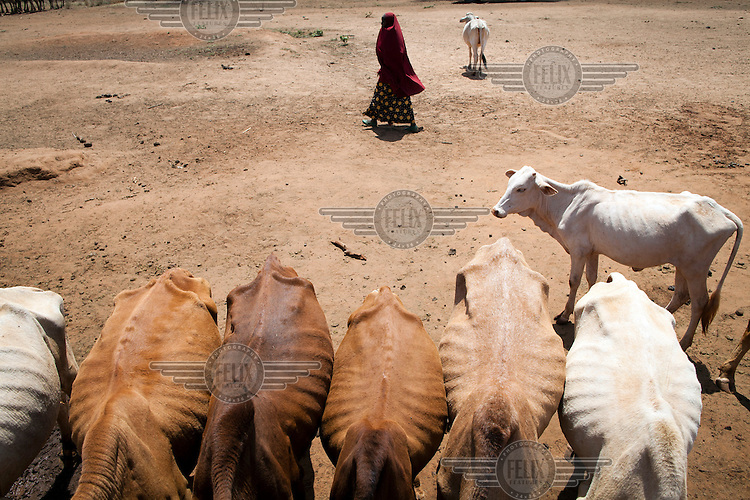 A woman walks past a line of cattle drinking at a water trough at the edge of Beke Pond, a vital water source for pastoralists living in the area.