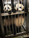 YOUNG PANDAS WAITING FOR THEIR MORNING TREATS AT THE CHENGDU PANDA BREEDING AND RESEARCH CENTRE, SICHUAN, CHINA. 14/3/13. PICTURE BY CLARE KENDALL 07971 477316