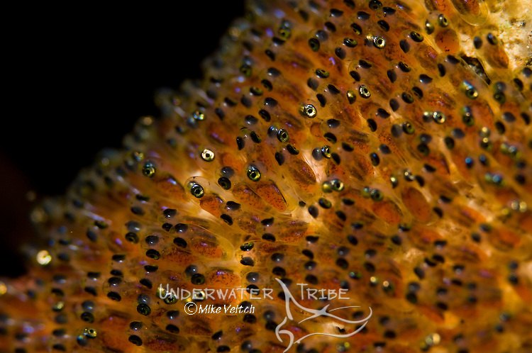 The eggs of a Saddleback Anemonefish, Amphiprion polymnus, Manado, North Sulawesi, Indonesia, Pacific Ocean