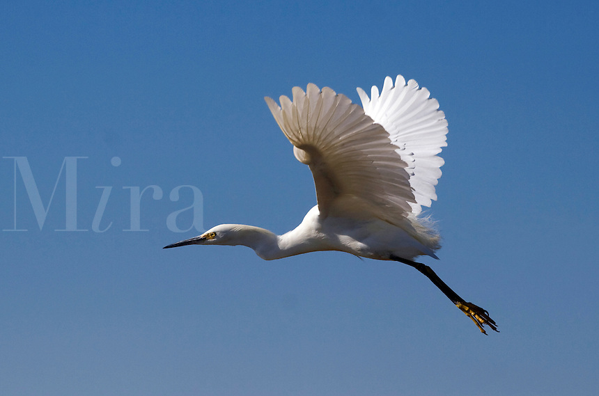 SNOWY EGRET (Egretta Thula) taking flight over ELKHORN SLOUGH - MOSS LANDING, CA