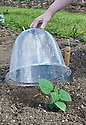 Covering a cape gooseberry plant with a bell cloche.