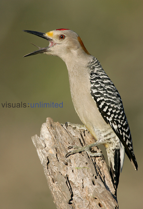 Golden-fronted Woodpecker calling ,Melanerpes aurifrons, Southwestern North America.