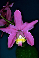 Orchid species: Cattleya harrisoniana