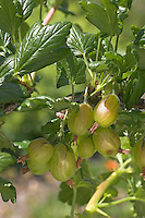 Stachelbeere, Stachel-Beere, Ribes uva-crispa, Gooseberry