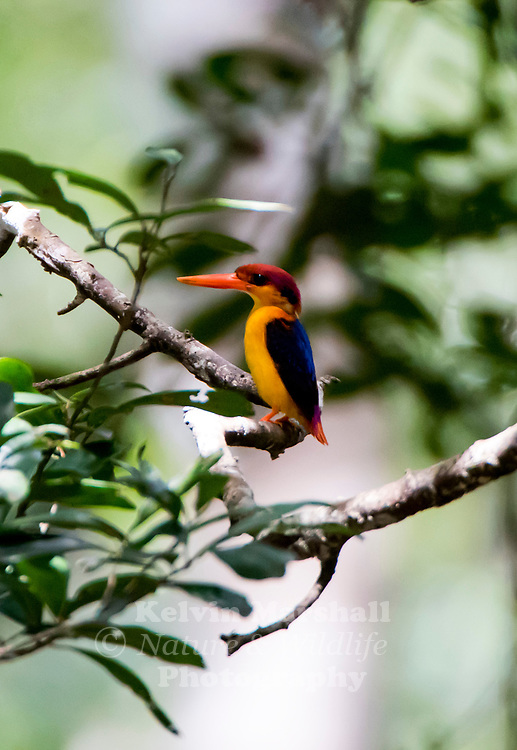 Oriental dwarf kingfisher (Ceyx erithaca), also known as the black-backed kingfisher or three-toed kingfisher, is a species of bird in the family Alcedinidae.