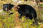 Black Bear Eating Berries, Tower Junction, Yellowstone National Park, Wyoming