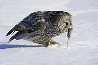 Great Grey Owl with a captured mouse