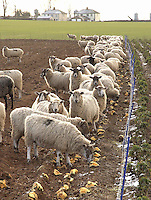 Mule ewes a near Langwathby, Penrith, Cumbria enjoying a feed of roots during a week of ice and snow.