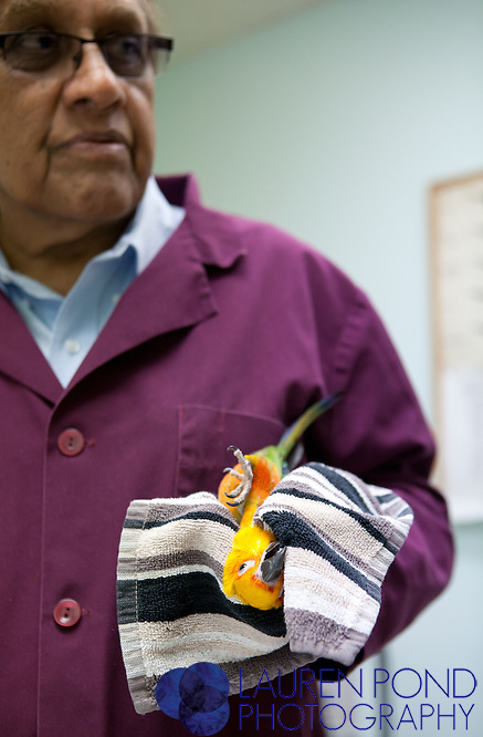 Dr. Ram Mohan examines a Jenday conure belonging to Kim Moore and Andrew Brown, 14, of Groveport, Ohio.