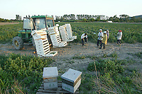 With the zucchini harvest in full swing, the hives are still in place to ensure pollination.