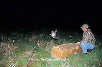 00842-02708 IL DNR Biologist releasing Greater Prairie-Chicken (Tympanuchus cupido) Prairie Ridge SNA  Marion County IL