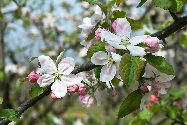 Blossom of Apple 'Landsberger Reinette', late April.  German dessert apple from Landsberg, Brandenburg, mid 19th century. Once widely grown in northern Europe.