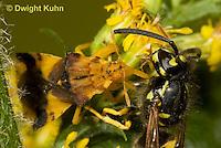 AM02-501z  Ambush Bug female, feeding on Sandhills Hornet prey with long sharp beak,  Phymata americana