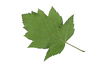 Elsbeere, Elzbeere, Sorbus torminalis, Wild Service Tree, Alisier torminal. Blatt, Blätter, leaf, leaves, Blattunterseite