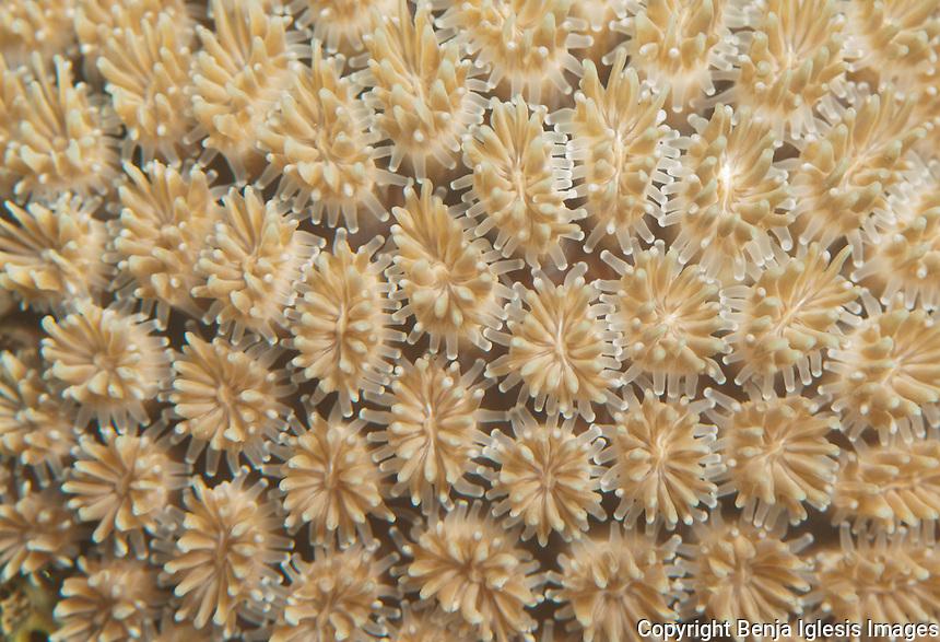 Polyps of coral at keramas Islands of the coast of Okinawa Japan.