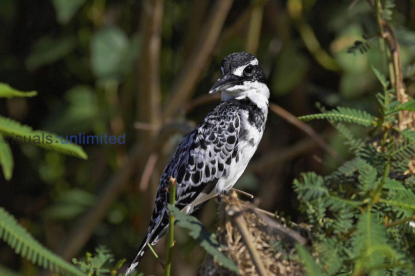 Pied Kingfisher (Ceryle rudis), Naivasha Lake, Kenya