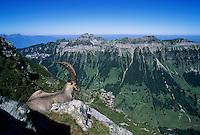 Alpine Ibex, Capra ibex ibex, male, View from Niederhorn, Interlaken, Switzerland, Europe