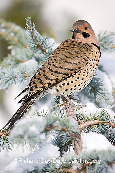 01193-014.12 Northern Flicker (Colaptes auratus) male on Blue Atlas Cedar (Cedrus atlantica 'Glauca') in winter Marion Co.  IL