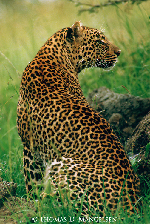 Sitting Leopard looking over its shoulder in the Maasai Mara.