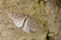 Später Schlehenbusch-Winterspanner, Später Schlehenbuschwinterspanner, Männchen, Theria rupicapraria, Theria culminaria, Early moth, male, La Phalène chamoisée, Spanner, Geometridae, looper, loopers, geometer moths, geometer moth