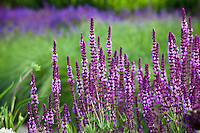 Meadow Sage, Salvia x sylvestris 'Amethyst' flowering perennial in Lurie Garden at Millenium Park, Chicago