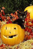 Silly huge-eyed black kitten sitting inside a carved jack 0'lantern surrounded by straw, fall leaves and looking spooky or spooked.