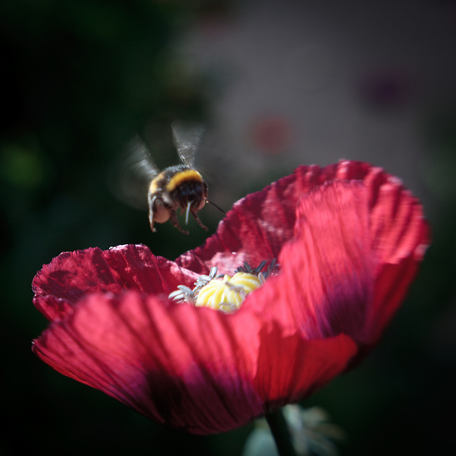Lensbaby Poppy Bloom Macro Series