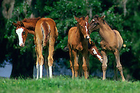 Foals play and socialize.