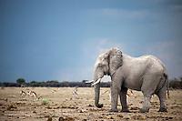 African Elephant Bull (Loxodonta Africana)