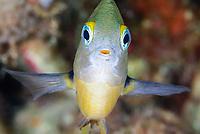 juvenile Threespot damselfish, Segastes planifrons, Bonaire, Caribbean Netherlands, Caribbean