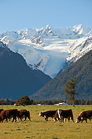 Herd of hereford cattle,  Fox Glacier on the West Coast, South Island, New Zealand