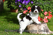 Bob, ANIMALS, REALISTISCHE TIERE, ANIMALES REALISTICOS, dogs, photos+++++,GBLA4275,#a#, EVERYDAY
