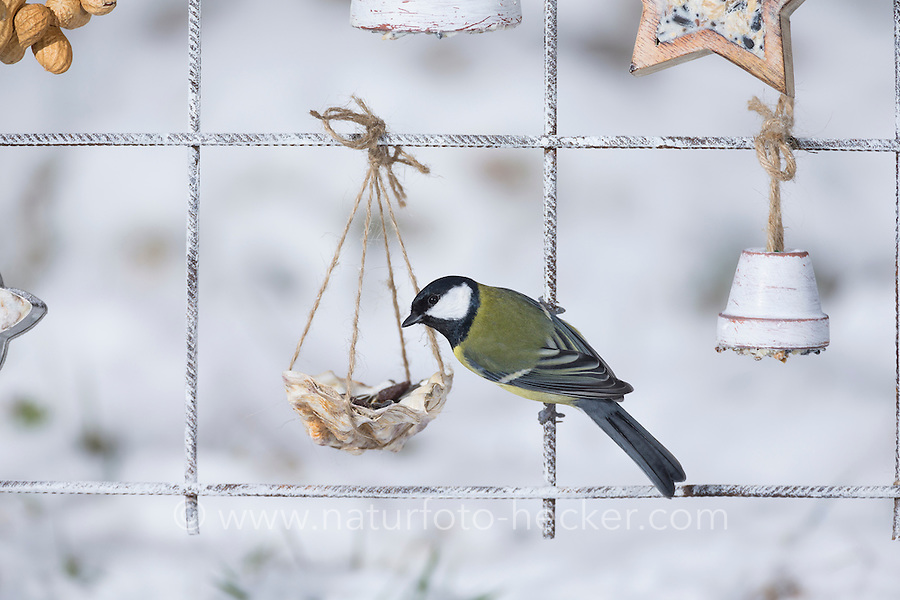 Kohlmeise, Futtergitter für Vögel, Vogelfutter-Spalier, Vogelfutter-Gitter, Selbstgemachtes Vogelfutter, Vogelfütterung, Fütterung, Fettfuttermischung, Fettfutter, Meisenknödel, Vogelfutterspalier, Vogelfuttergitter, Winterfütterung, Kohl-Meise, Meise, Meisen, Parus major, Great tit, bird's feeding, La Mésange charbonnière. Adventskalender für Vögel, Advent, Weihnachten für Vögel