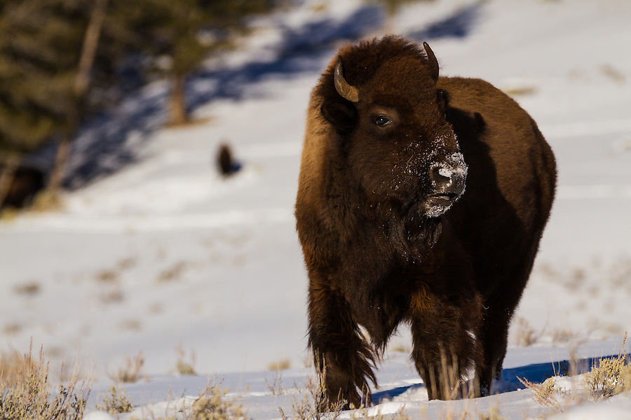 A single bison stands among the snow-covered sagebrush in Yellowstone National Park, Wyoming.