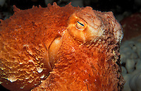 kk2515. Pacific Giant Octopus (Enteroctopus dofleini). Pacific Northwest..Photo Copyright © Brandon Cole. All rights reserved worldwide.  www.brandoncole.com..This photo is NOT free. It is NOT in the public domain. This photo is a Copyrighted Work, registered with the US Copyright Office. .Rights to reproduction of photograph granted only upon payment in full of agreed upon licensing fee. Any use of this photo prior to such payment is an infringement of copyright and punishable by fines up to  $150,000 USD...Brandon Cole.MARINE PHOTOGRAPHY.http://www.brandoncole.com.email: brandoncole@msn.com.4917 N. Boeing Rd..Spokane Valley, WA  99206  USA.tel: 509-535-3489