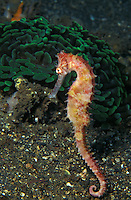 Photo LQ-8520. Thorny Seahorse (Hippocampus histrix)..Photo Copyright © Brandon Cole. All rights reserved worldwide.  www.brandoncole.com.This photo is NOT free. It is NOT in the public domain..Rights to reproduction of photograph granted only upon payment in full of agreed upon licensing fee. Any use of this photo prior to such payment is an infringement of copyright and punishable by fines up to  $150,000 USD...Brandon Cole.MARINE PHOTOGRAPHY.http://www.brandoncole.com.email: brandoncole@msn.com.1109 E. 12th Ave..Spokane, WA  99202  USA.tel: 509-535-3489.tel: 509-535-2556.