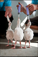 BNPS.co.uk (01202 558833)<br /> Pic: IanTurner/BNPS<br /> <br /> ***Please use full byline***<br /> <br /> They might look ugly - but these chicks will grow into beautiful Flamingoes.<br /> <br /> Five newly-hatched flamingo chicks are being hand-reared by keepers after the eggs were abandoned by their parents during a violent thunderstorm.<br /> <br /> The chicks' parents fled their nests at Longleat Safari Park when they were spooked by a huge clap of thunder brought on by the recent heat wave.<br /> <br /> Adult flamingos build a volcano-shaped nest and lay a single egg, which they then usually sit on for around a month.<br /> <br /> But if they leave the nest they don't return - so keepers at the Wiltshire attraction were forced to intervene to save the chicks.<br /> <br /> They are now using syringes to feed the endangered Chilean flamingos five times a day after the eggs were artificially hatched in an incubator.
