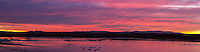 An early morning sunrise panorama with Snow Geese at Bosque Del Apache National Wildlife Refuge in New Mexico.