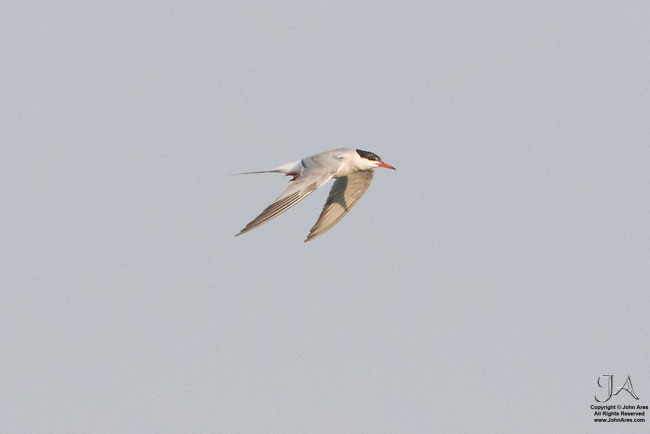 Common Tern flying on Staten Island