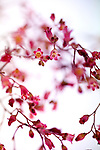 A composition of Coral Bells with selective focus