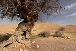 Israel, Negev. Atlantic Pistachio (Pistacia Atlantica) tree in Wadi Eliav
