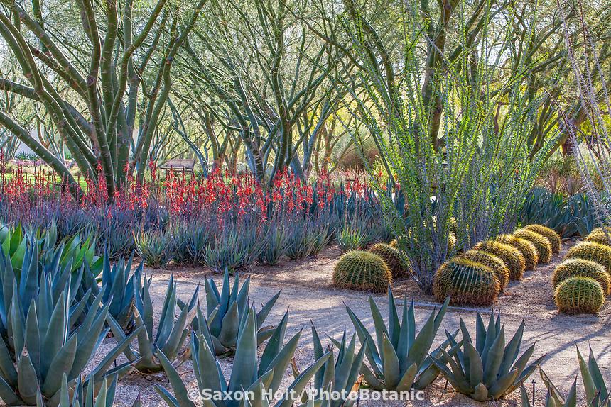 'Desert Museum' Palo Verde trees; Cercidium or Parkinsonia hybrid with Agave, Aloe and Ocotillo; Sunnylands garden, Southern California