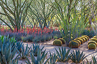 'Desert Museum' Palo Verde trees; Cercidium or Parkinsonia hybrid with Agave, Aloe and Ocotillo; Sunnylands garden, Southern California