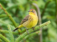 palm warbler, Setophaga palmarum, male warbler on spruce tree in spring, Nova Scotia, Canada