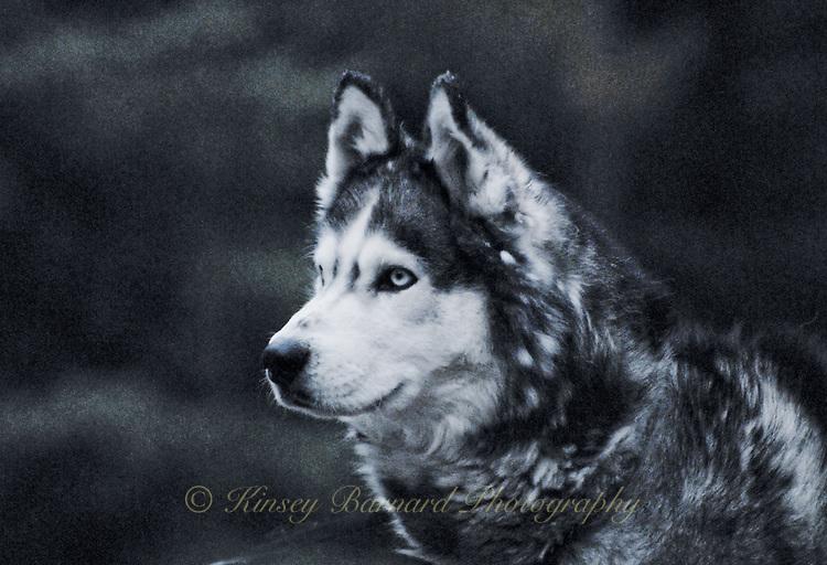 Portrait of the best damned dog who ever lived. Lakota Sunrise Siberian Husky