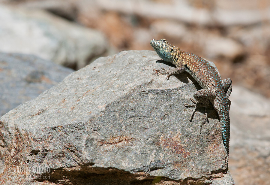 A male side-blotched lizard, Uta stansburiana, watches carefully as a potential predator flies overhead. Wildrose Canyon, Death Valley National Park, California