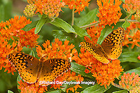 03322-01711 Great Spangled Fritillaries (Speyeria cybele) on Butterfly Milkweek (Asclepias tuberosa) Reynolds Co. MO