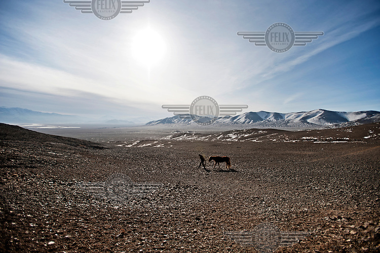 A man leads his horse across a rocky valley during a hunt with eagles. Eagle hunting is believed to originate in Central Asia some 6000 years ago and is generally a winter sport, as that is when the prey has grown its sought after winter pelt. The birds are Golden Eagles and weigh up to seven kilos with a wingspan in excess of two metres.