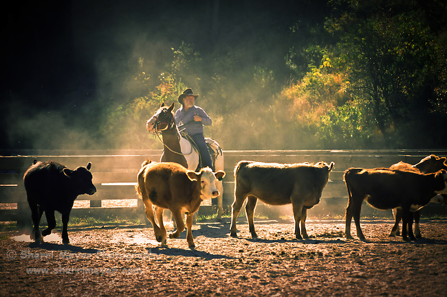 Jeff Meyer rounding up the cows at Hidden Creek Ranch, Harrison, Idaho.